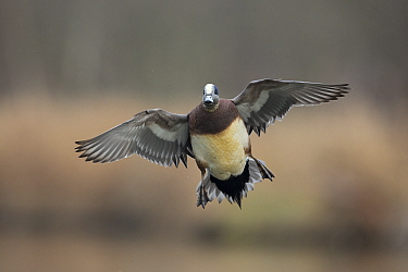 American Wigeon (Anas americana) drake flying, central Montana