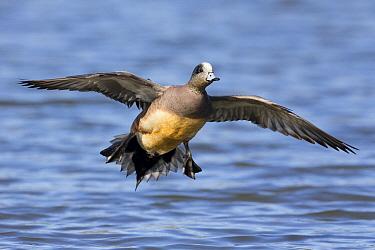 American Wigeon (Anas americana) drake landing, central Montana