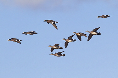 American Wigeon (Anas americana) group in courtship flight in spring, central Montana