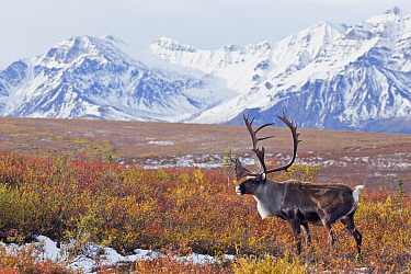 Barren-ground Caribou (Rangifer tarandus groenlandicus) bull in tundra, central Alaska