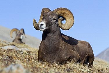 Bighorn Sheep (Ovis canadensis) rams, western Canada