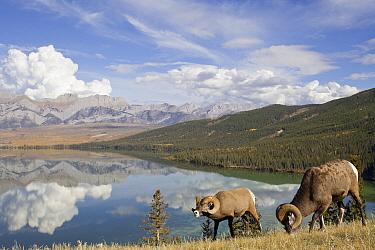 Bighorn Sheep (Ovis canadensis) rams grazing, western Canada