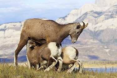 Bighorn Sheep (Ovis canadensis) ewe nursing lambs, western Canada