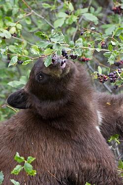Black Bear (Ursus americanus) feeding on Serviceberry (Amelanchier sp), western Montana
