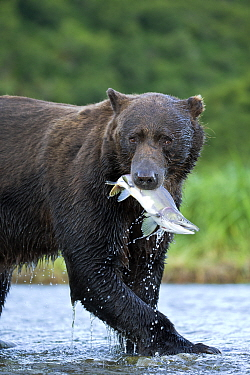 Grizzly Bear (Ursus arctos horribilis) with salmon prey, Geographic Harbor, Alaska