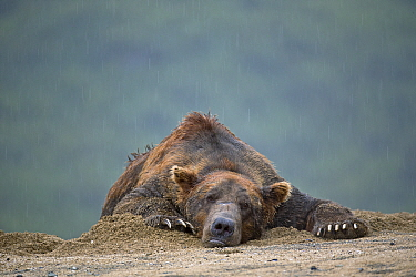 Grizzly Bear (Ursus arctos horribilis) male lying in sand in rain, Geographic Harbor, Alaska