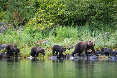 Grizzly Bear (Ursus arctos horribilis) mother and cubs walking along shoreline, Geographic Harbor, Alaska