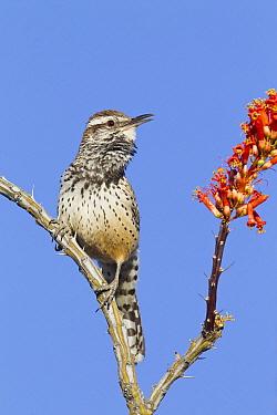 Cactus Wren (Campylorhynchus brunneicapillus) calling, southern Arizona