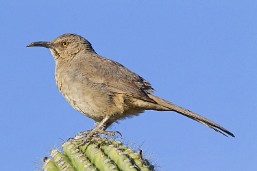 Curve-billed Thrasher (Toxostoma curvirostre), southern Arizona