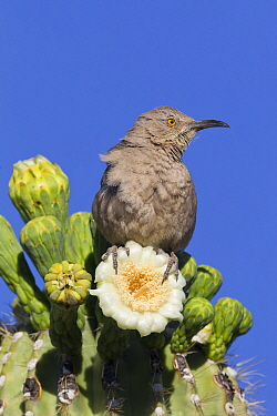 Curve-billed Thrasher (Toxostoma curvirostre) on Saguaro (Carnegiea gigantea) cactus flowers, southern Arizona