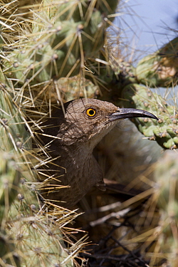 Curve-billed Thrasher (Toxostoma curvirostre) in nest cavity in cactus, southern Arizona