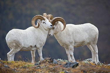 Dall's Sheep (Ovis dalli) rams posturing, central Alaska