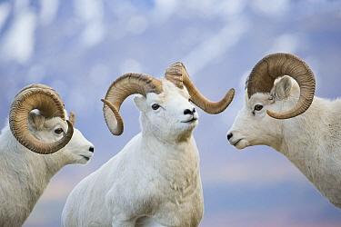 Dall's Sheep (Ovis dalli) rams posturing, central Alaska