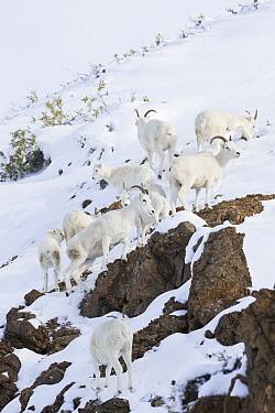 Dall's Sheep (Ovis dalli) ewes and lambs during snowfall, central Alaska