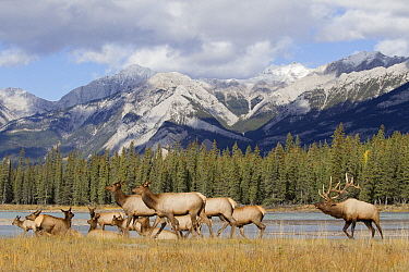 Elk (Cervus elaphus) bull and harem of females and calves along river, Athabasca River, western Canada