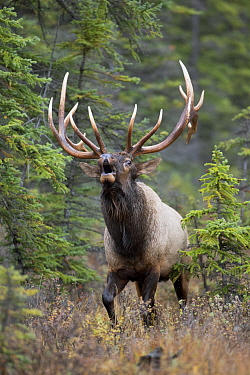 Elk (Cervus elaphus) bull bugling, western Canada