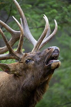 Elk (Cervus elaphus) bull flehming, western Canada