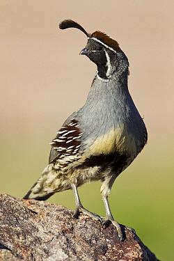 Gambel's Quail (Callipepla gambelii) male, southern Nevada