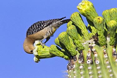 Gila Woodpecker (Melanerpes uropygialis) feeding on Saguaro (Carnegiea gigantea) cactus flower, southern Arizona