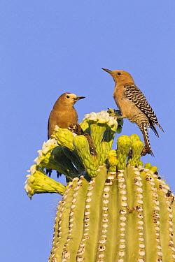 Gila Woodpecker (Melanerpes uropygialis) pair on Saguaro (Carnegiea gigantea) cactus, southern Arizona