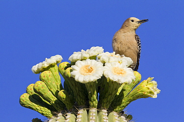 Gila Woodpecker (Melanerpes uropygialis) on Saguaro (Carnegiea gigantea) cactus, southern Arizona