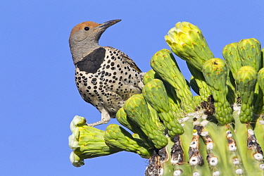 Gilded Flicker (Colaptes chrysoides), southern Arizona