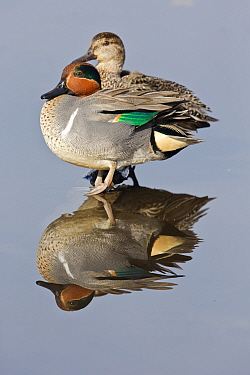 Common Teal (Anas crecca) male and female, central Montana