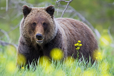 Grizzly Bear (Ursus arctos horribilis), western Canada