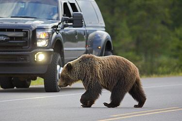 Grizzly Bear (Ursus arctos horribilis) crossing highway, western Alberta, Canada