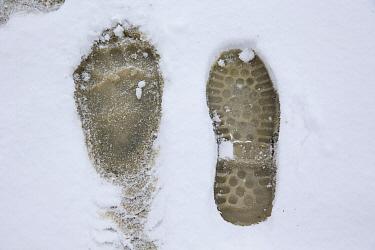 Grizzly Bear (Ursus arctos horribilis) footprint in snow next to human print, central Alaska