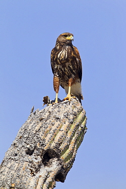 Harris' Hawk (Parabuteo unicinctus) juvenile, southern Arizona