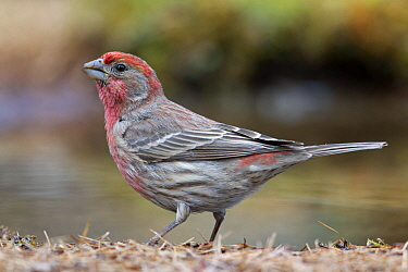 House Finch (Carpodacus mexicanus) male at pond, western Montana