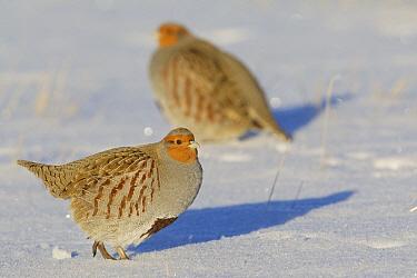 European Partridge (Perdix perdix) pair in snow, central Montana