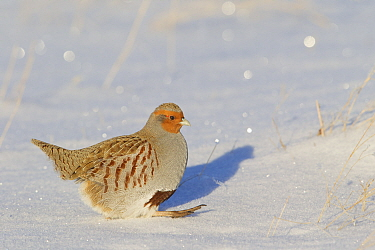 European Partridge (Perdix perdix) in snow, central Montana