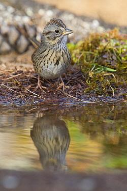 Lincoln's Sparrow (Melospiza lincolnii) at pond, North America