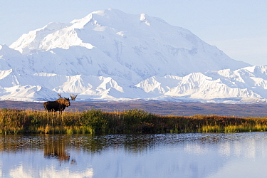 Moose (Alces alces) bull in fall at tundra pond, Mount Denali, Denali National Park, Alaska