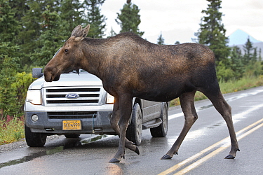 Moose (Alces alces) female crossing highway, central Alaska