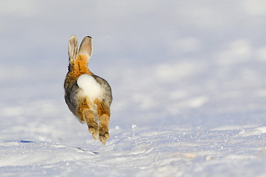 Mountain Cottontail (Sylvilagus nuttallii) running in snow, central Montana