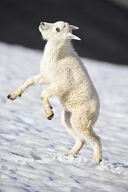 Mountain Goat (Oreamnos americanus) kid playing in snow, Glacier National Park, Montana