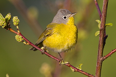 Nashville Warbler (Oreothlypis ruficapilla) male in breeding plumage, western Montana