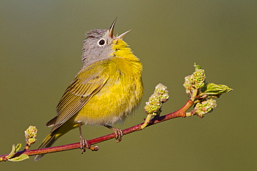 Nashville Warbler (Oreothlypis ruficapilla) male calling in spring, western Montana