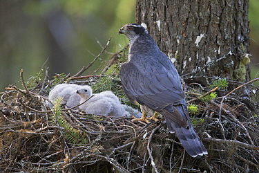 Northern Goshawk (Accipiter gentilis) female at nest with chicks, western Montana