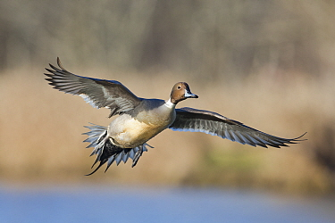 Northern Pintail (Anas acuta) drake flying, central Montana