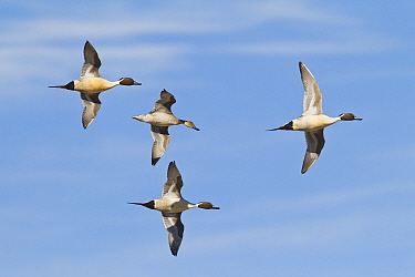 Northern Pintail (Anas acuta) group in courtship flight, central Montana