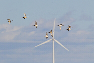 Northern Pintail (Anas acuta) group in courtship flight in spring passing windmill, central Montana
