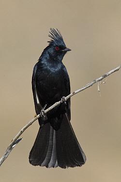 Phainopepla (Phainopepla nitens) male, southern Nevada