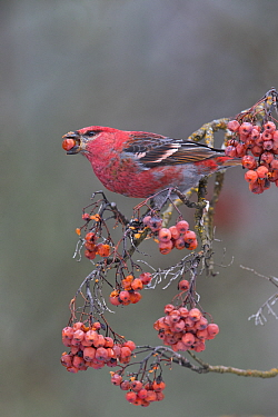 Pine Grosbeak (Pinicola enucleator) male feeding on American Mountain Ash (Sorbus americana) berries, western Montana