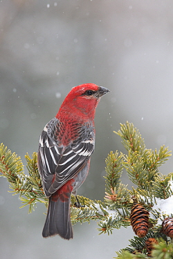 Pine Grosbeak (Pinicola enucleator) male in winter, western Montana