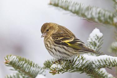 Pine Siskin (Carduelis pinus), western Montana