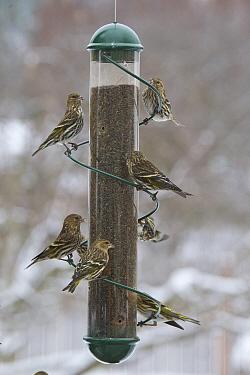Pine Siskin (Carduelis pinus) flock on bird feeder, western Montana